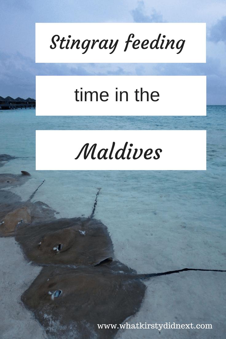 Stingray feeding at Huvafen Fushi in the Maldives