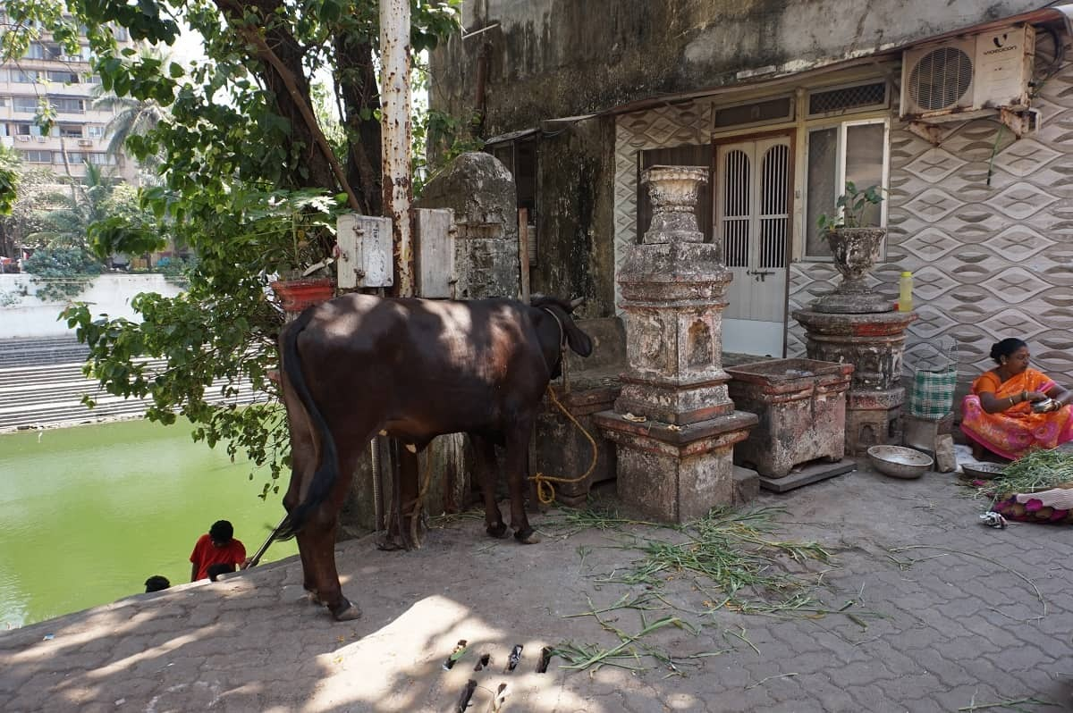Sacred cow in Mumbai